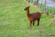 A Brown Alpaca On The Grass In...
