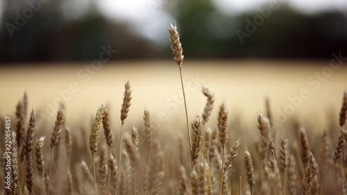 Obraz na plátně Getreideehre auf der Ostseeinsel Fehmarn