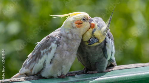 Cockatiels Preening Canvas-taulu