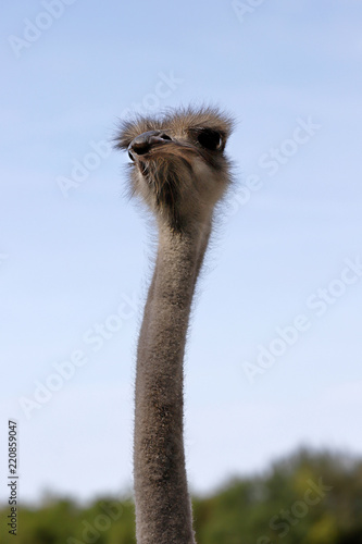 Staande foto Struisvogel Close-up of head details South African female common ostrich (Struthio camelus)