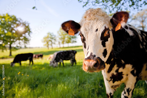 Photo sur Aluminium Vache Vache Normande en France