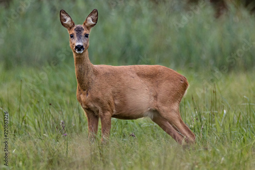 Deurstickers Ree Roe deer on field
