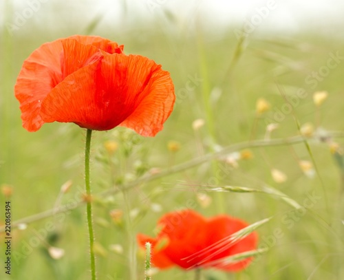 Foto op Canvas Poppy Red poppy flower