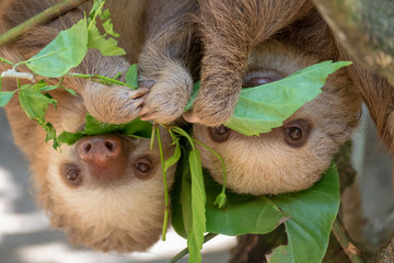 Two sloths hanging from tree in Costa Rica