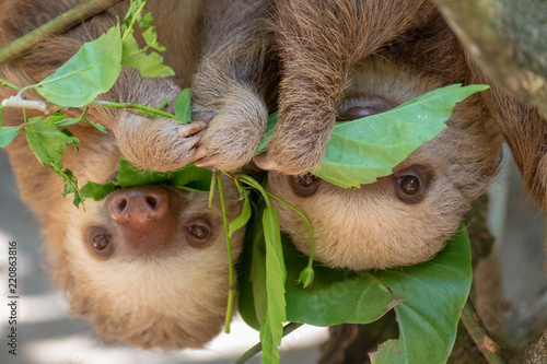 Stampa su Tela  Two sloths hanging from tree in Costa Rica