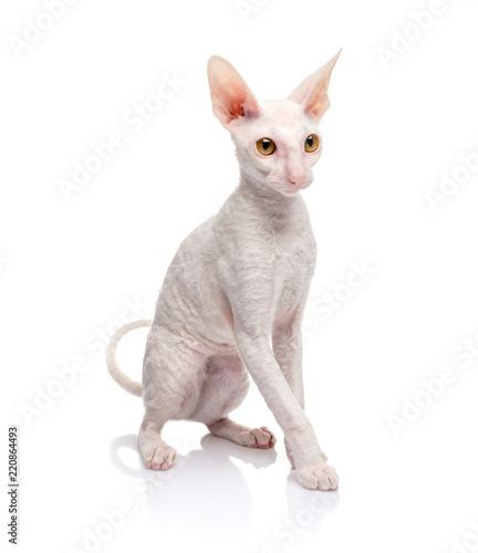 Thoroughbred White Cornish Rex Cat on white background. Fototapete