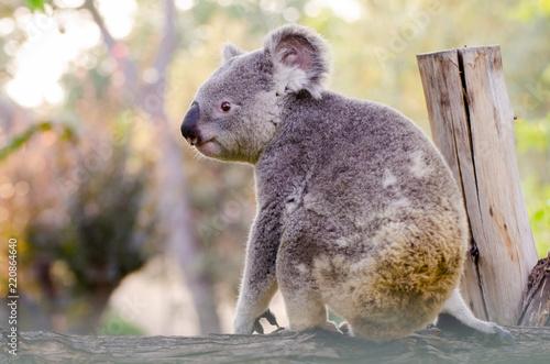 Staande foto Koala KOALA