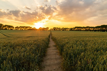 Sunset Or Sunrise Over Path Through Countryside Field Of Wheat