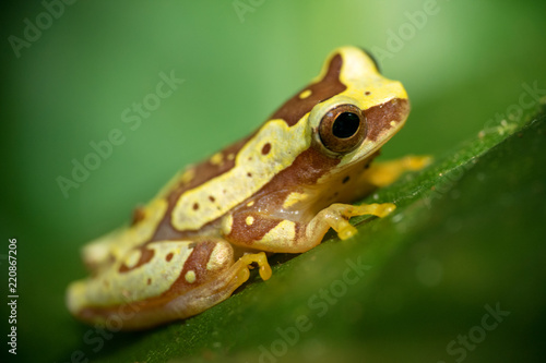 Tuinposter Kikker Yellow and brown frog in Costa Rica
