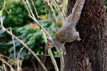 Portrait Of A Grey Squirrel Climbing A Tree