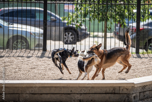 Photo Fun scene at a dog park in the city: cute dogs run, fetch and play on a summer day