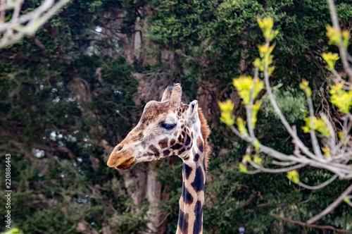 Thin Giraffe Head