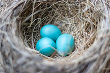 Three Beautiful Blue Robin Bir...
