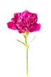 Blooming Carnation
