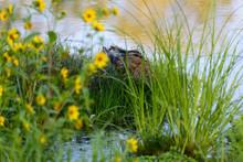 Peaceful Female Mallard Duck L...