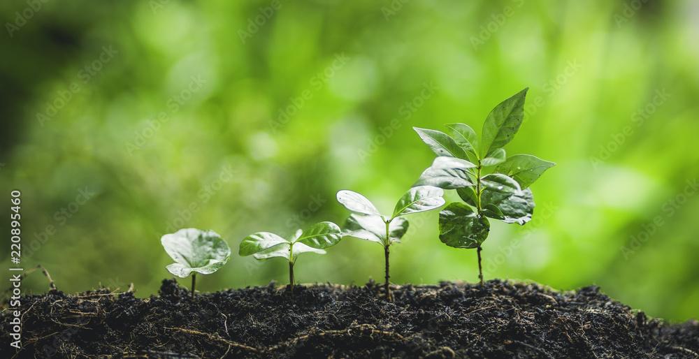 Plant coffee tree Growing Coffee,hand  Watering