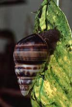 Liguus Tree Snail (Liguus Fasciatus Versicolor)