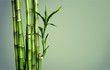 canvas print picture - Many bamboo stalks  on background