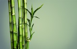 Fototapeta Bambus - Many bamboo stalks  on background