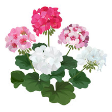 Colorful Of Geranium Flowers With Leaf Bouquet. Vector Set Of Blooming Floral For Holiday Invitations, Greeting Card And Fashion Design.