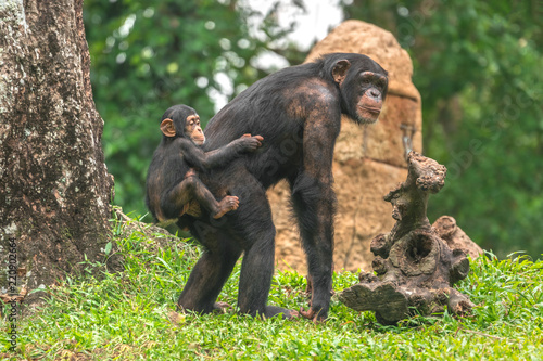 A female chimpanzee with a baby on her back Canvas Print
