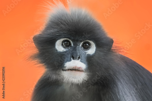 In de dag Aap Dusky Leaf Monkey or Spectacled Langur (Trachypithecus obscurus) portrait on an orange background