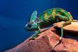 Chameleon sitting on a rock