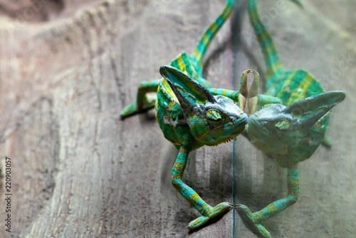 The green chameleon is reflected in the terrarium glass