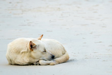 A Big White Dog Sleeping On Th...