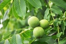 Unripe Fruits Of Walnut Growin...