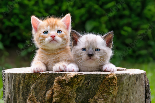 Fotomural Two baby kittens in a hollowed tree log in a garden