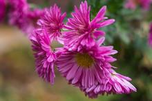 Violet Aster Wildflowers