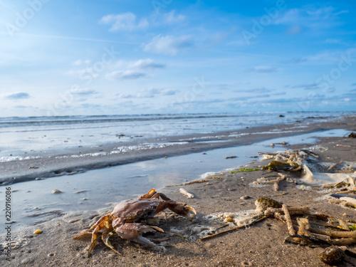 Strandkrabbe an der Nordsee