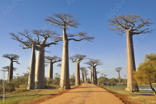 In de dag Baobab バオバブ街道(マダガスカル)