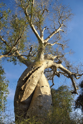 愛し合うバオバブの木(マダガスカル) Wallpaper Mural