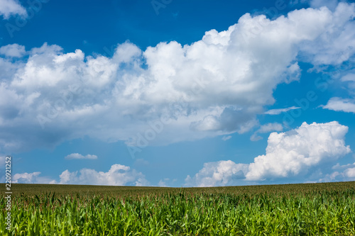 Spoed Foto op Canvas Platteland green corn field and blue sky. Nature summer countryside landscape