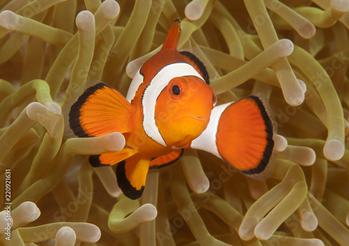 Poster Under water Ocellaris clownfish ( Aphiprion ocellaris ) or false clown anemonefish shelters itself among the venomous tentacles of a magnificent sea anemone ( Heteractis magnifica ), Bali, Indonesia