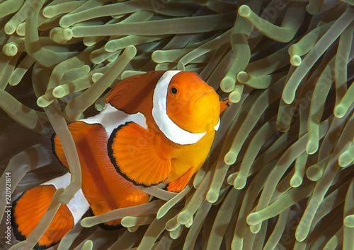 Fotografie, Obraz  Ocellaris clownfish ( Aphiprion ocellaris ) or false clown anemonefish shelters
