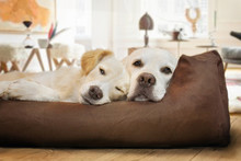 Zwei Hunde Schlafen Zusammen Im Hundebett