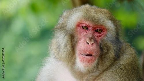 In de dag Japanischer Makake, wilde Affen mit rotem Gesicht