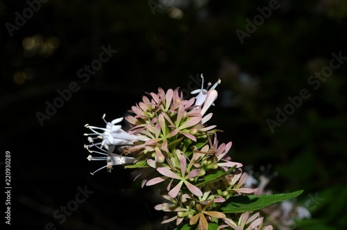 Foto op Canvas Bloemen delicate pink white flowers in autumn on the Abelia dielsii