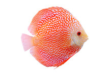Spotted Orange Red Discus Fish...