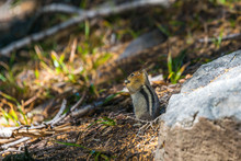 Golden Mantled Squirrel On The...