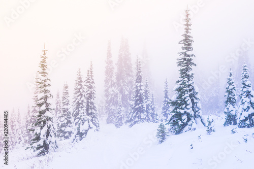 Fototapety, obrazy: snow covered a tree in winter season with sunset light with the fog in the sky.