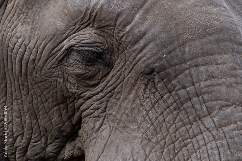Photo Solitary old male elephant