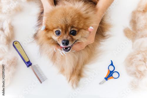Fotografía  a portrait of a professional dog hairdresser grooming a dog