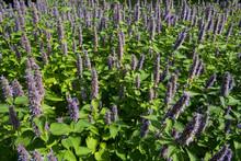 Field Of Beautiful Blooming Plants