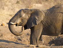 African Elephant At A Waterhole