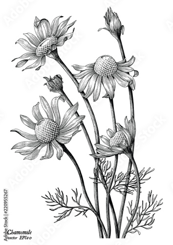 Chamomile flowers hand draw vintage clip art isolated on white background Wall mural