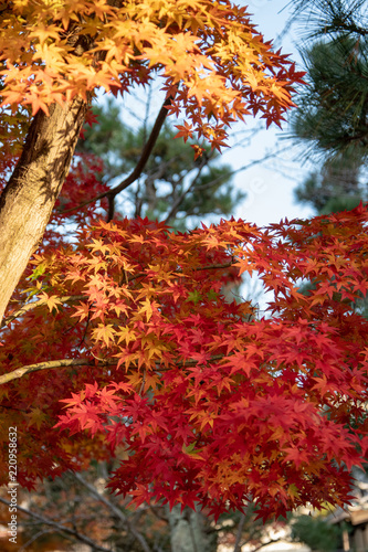 京都 金戒光明寺の紅葉